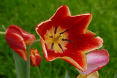 Red tulips in bloom Stock Photography