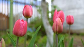 Tulips in the garden. Red tulips bloom in the backyard. Close up stock video footage