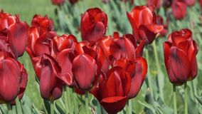 Red tulips bloom on a flower bed. In drops of water from a close-up watering with stock video footage