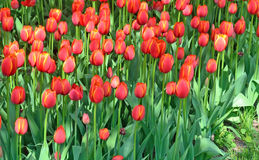 Red tulips bloom in the flowerbed background Stock Photo