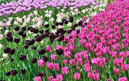 Red tulips bloom in the flowerbed background Stock Images