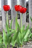 Tulips in the flowerbed Royalty Free Stock Photos