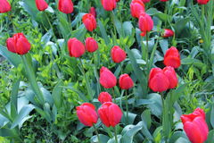 Red tulips bloom in the spring. Stock Image