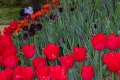 Red tulips bloom on a Sunny day in the Park on a background of green leaves royalty free stock images