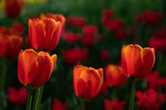 Red tulips bloom on a Sunny day in the Park on a background of green leaves. Field, flower bed with red tulips in the garden. Beautiful tulips flower in field at royalty free stock photos