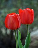 Red tulips bloomed Royalty Free Stock Photos