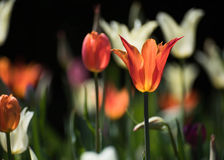 Red tulips blooming in the field Stock Photography
