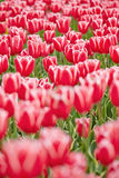 Red tulips blooming in field Stock Photography