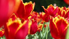 Red tulips blooming in the flower garden. Springtime background. Close-up red tulips blooming in the flower garden. Springtime background stock footage