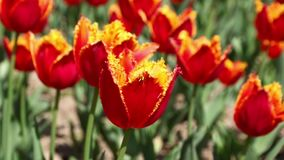 Red tulips blooming in the flower garden. Springtime background. Close-up red tulips blooming in the flower garden. Springtime background stock video