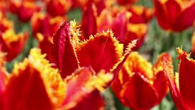 Red tulips blooming in the flower garden. Springtime background. Close-up red tulips blooming in the flower garden. Springtime background stock video footage