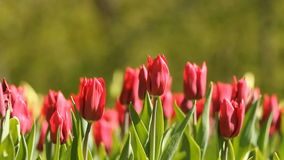 Red tulips. Blooming tulips on the flowerbed in the spring park stock footage