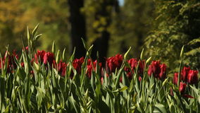 Red tulips. Blooming tulips on the flowerbed in the spring park stock video
