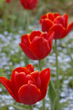 Red tulips blooming in a garden Royalty Free Stock Images