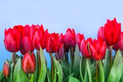 Spring red tulips blooming Stock Photography
