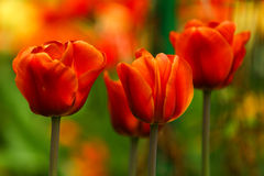 Red Blooming Tulips. Bright Red Blooming Tulips Gardens Royalty Free Stock Image