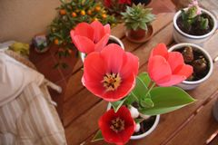 Red Tulips blossom on balcony garden in the pot royalty free stock image