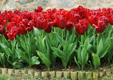 Red tulips blossom Stock Image