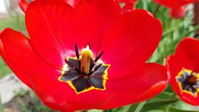 Red tulips blossom in the garden. Red tulips bloom in the garden. fresh spring background stock footage