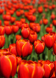Red tulips blossom in garden Royalty Free Stock Photo