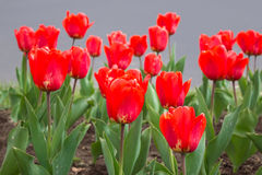 Red tulips. Blossom spring view Stock Image
