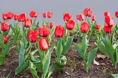 Red tulips. Blossom spring view Royalty Free Stock Photos