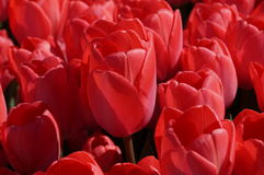 Red tulips blossomed Royalty Free Stock Images