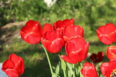 Red tulips. The red tulips blossoming in the bright sunny spring afternoon Royalty Free Stock Photos