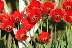 Red tulips. The red tulips blossoming in the bright sunny spring afternoon Royalty Free Stock Photography