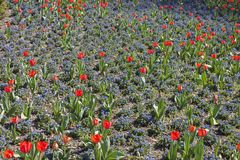 Red tulips and blue forget-me-nots form flowers Royalty Free Stock Images
