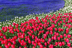 Red tulips with blue grape hyacinths Royalty Free Stock Photos