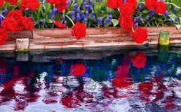 Red Tulips Blue Hyacint Reflection Washington Royalty Free Stock Image