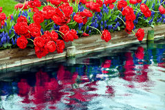 Red Tulips Blue Hyacinth Reflection Royalty Free Stock Image
