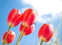 Red tulips and blue sky Royalty Free Stock Photos