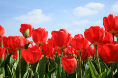 Red tulips and blue sky Royalty Free Stock Photography
