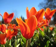 Red tulips on blue sky background Royalty Free Stock Photo
