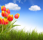 Red tulips and blue sky. Royalty Free Stock Photo