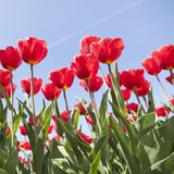 Red tulips and blue sky on dutch tulip flower landscape in holla Royalty Free Stock Photo