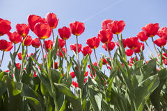 Red tulips and blue sky on dutch tulip flower landscape in holla Stock Photo