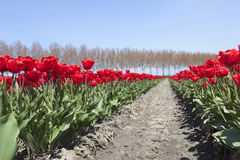 Red tulips and blue sky on dutch tulip flower landscape in holla Royalty Free Stock Photography