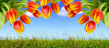 Red tulips and blue sky. Stock Image