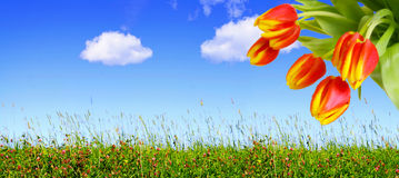 Red tulips and blue sky. Royalty Free Stock Photos
