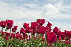 Red tulips and blue sky Stock Images