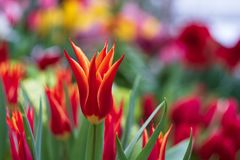 Red tulips on a blurred background stock images