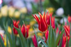 Red tulips on a blurred background royalty free stock images