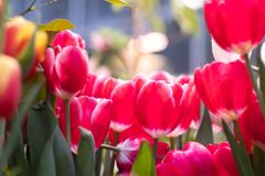 Red tulips on a blurred background stock image
