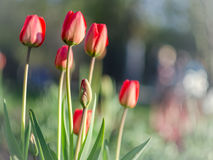 Red tulips with blurred background. Spring red tulips with blurred background Royalty Free Stock Photography