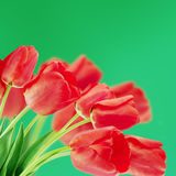 Red tulips on a blurry background Royalty Free Stock Photography
