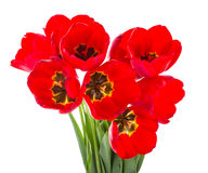 Red tulips bouquet Stock Photos