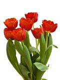 Red tulips bouquet Stock Images